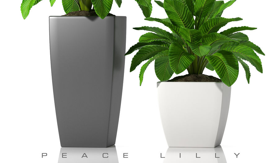 Vrede lilly 2 royalty-free 3d model - Preview no. 5