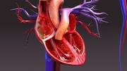 순환계 해부학 3d model