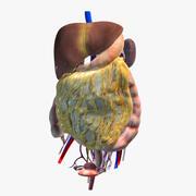 腹部器官 3d model
