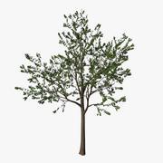 若いカエデの木 3d model