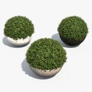 Boxwood Shrubs in Bubble Pots 3d model