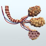 Realistyczna anatomia pęcherzyków płucnych 3d model
