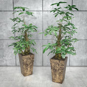 Stylized Money Tree Plant 3d model