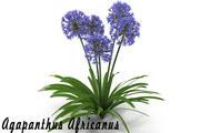 Fleur d'Agapanthus Africanus 3d model