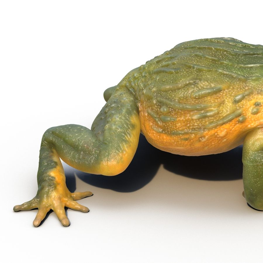 Bullfrog africain truqué royalty-free 3d model - Preview no. 27