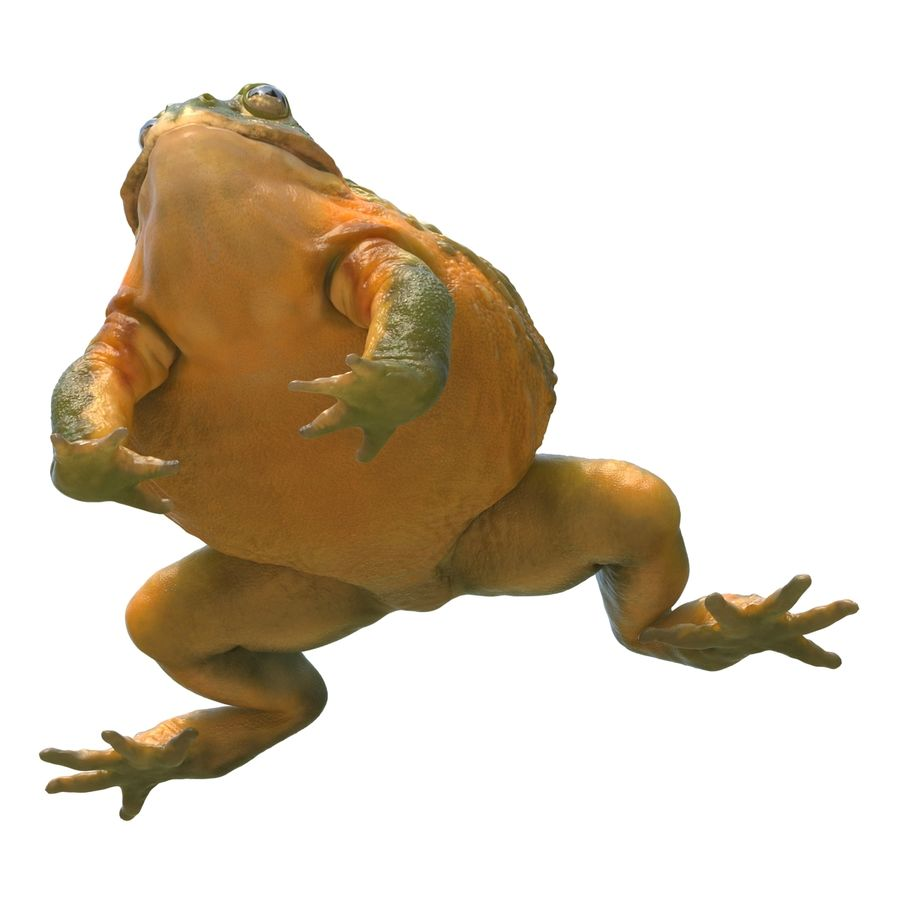 Bullfrog africain truqué royalty-free 3d model - Preview no. 21
