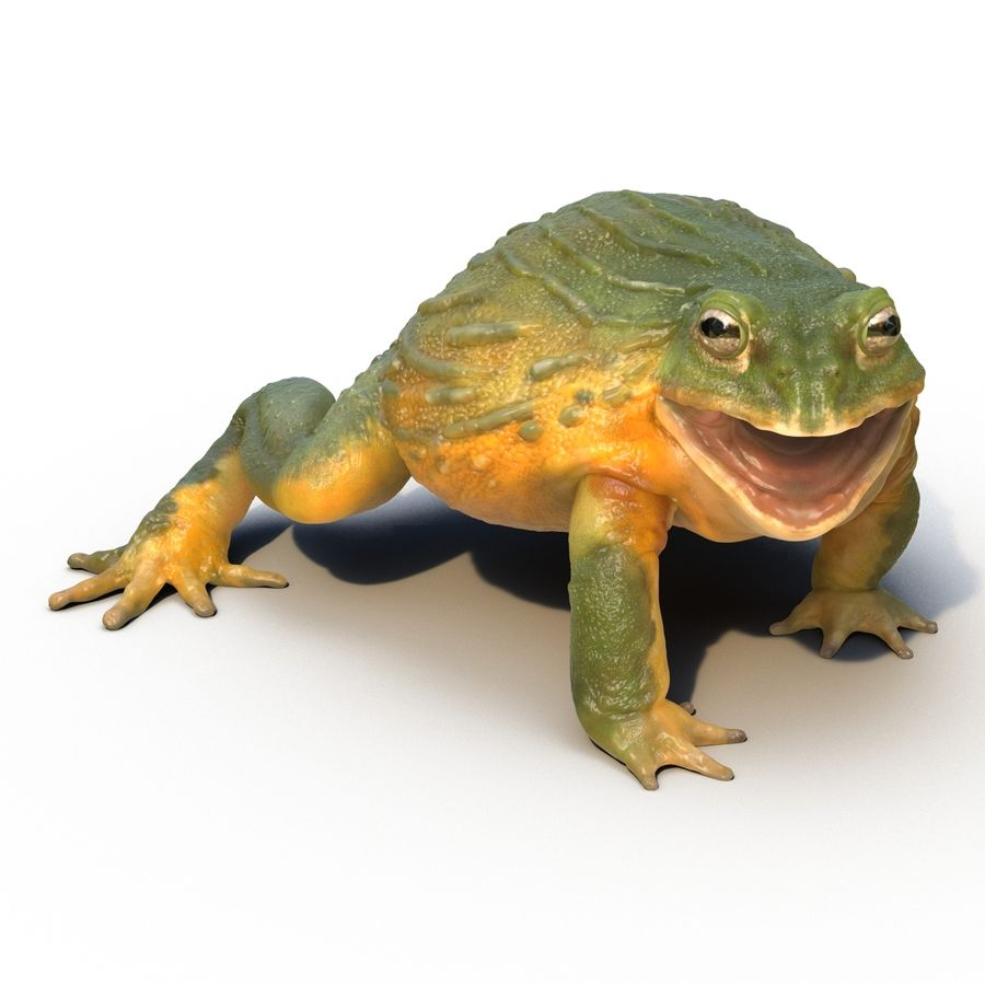 Bullfrog africain truqué royalty-free 3d model - Preview no. 4