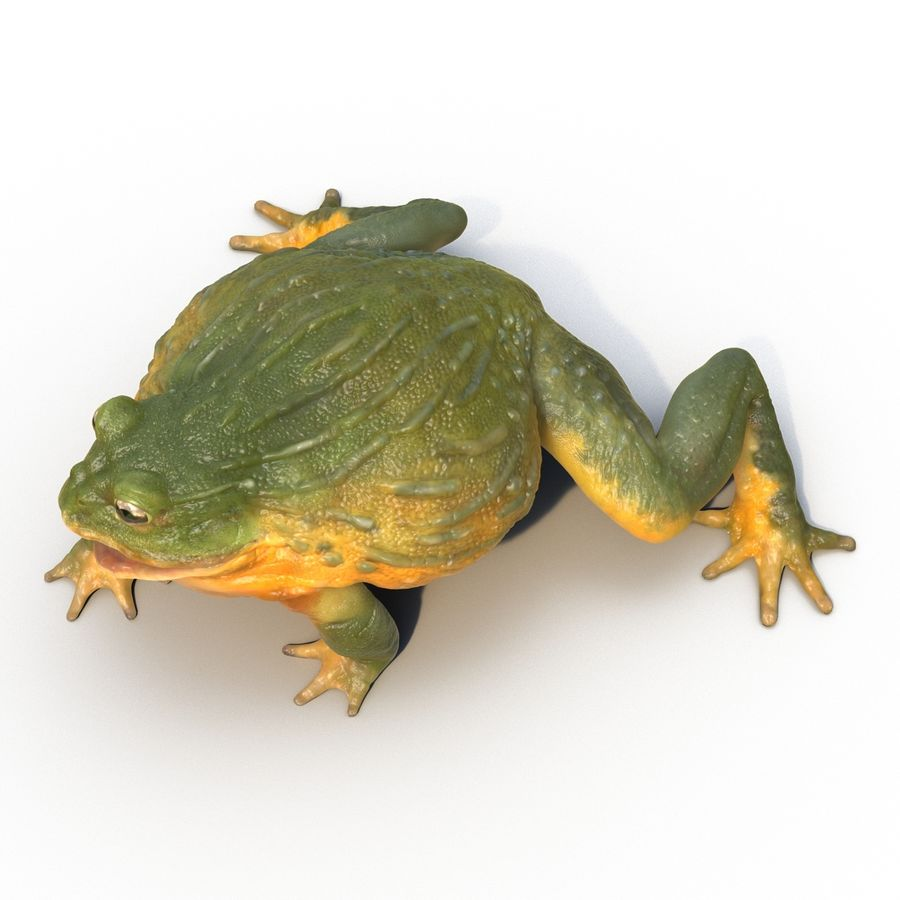 Bullfrog africain truqué royalty-free 3d model - Preview no. 16