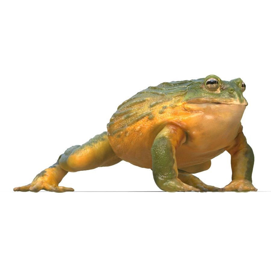 Bullfrog africain truqué royalty-free 3d model - Preview no. 18