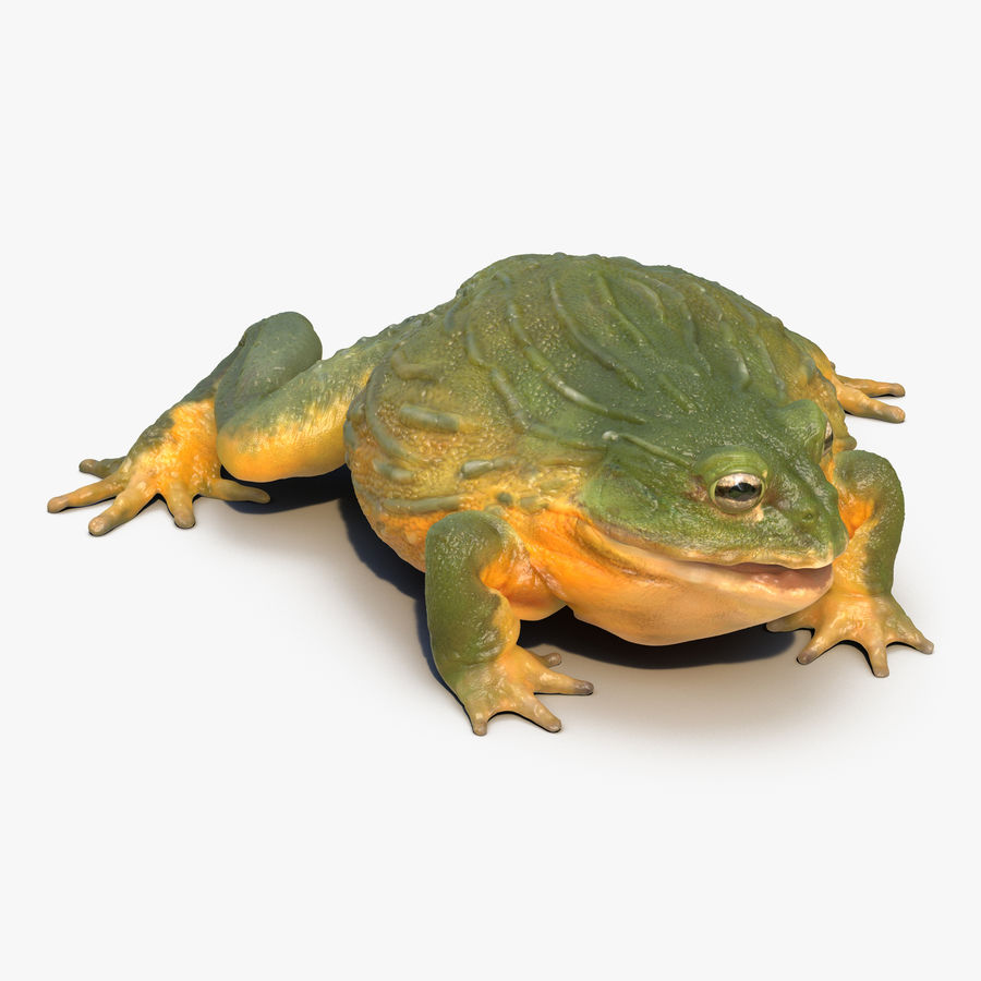 Bullfrog africain truqué royalty-free 3d model - Preview no. 1