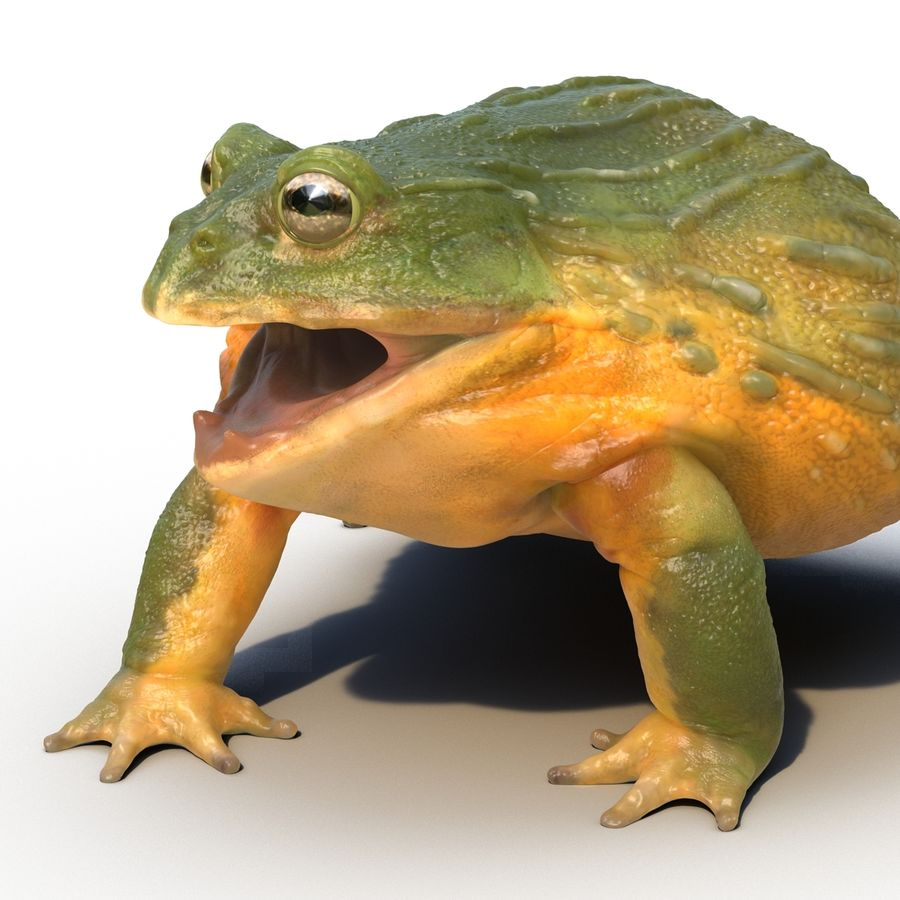 Bullfrog africain truqué royalty-free 3d model - Preview no. 23