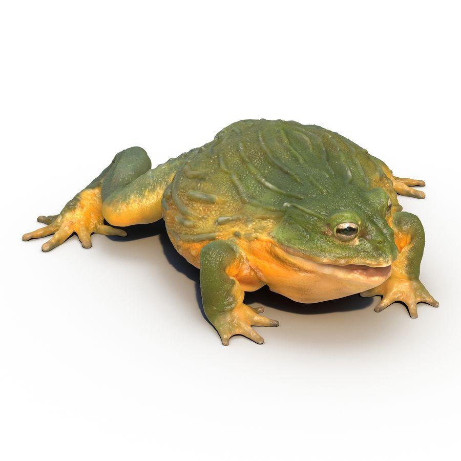 Bullfrog africain truqué royalty-free 3d model - Preview no. 2