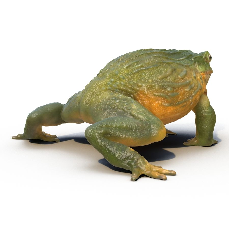Bullfrog africain truqué royalty-free 3d model - Preview no. 9