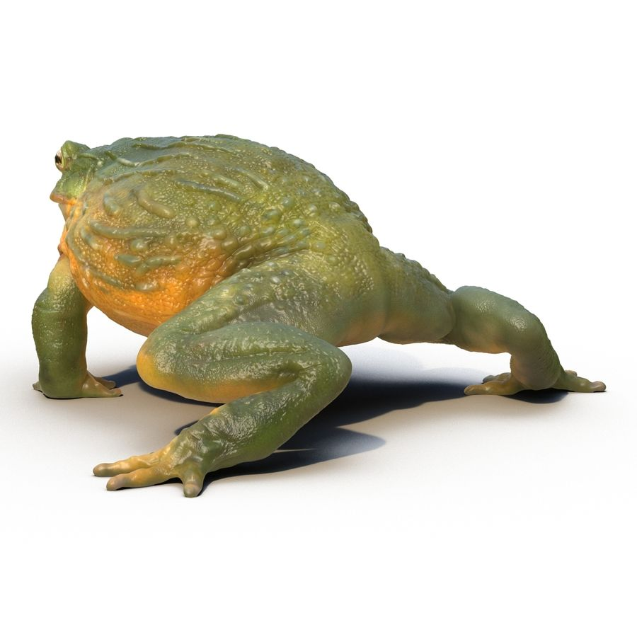Bullfrog africain truqué royalty-free 3d model - Preview no. 7