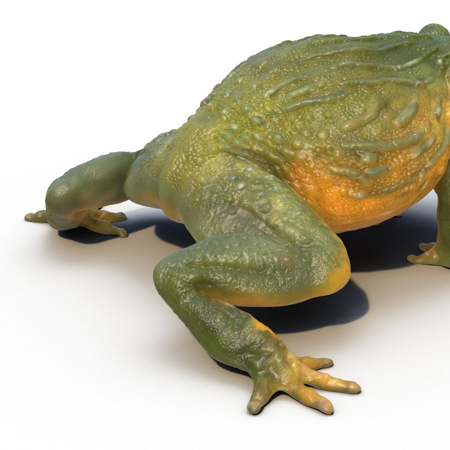 Bullfrog africain truqué royalty-free 3d model - Preview no. 26