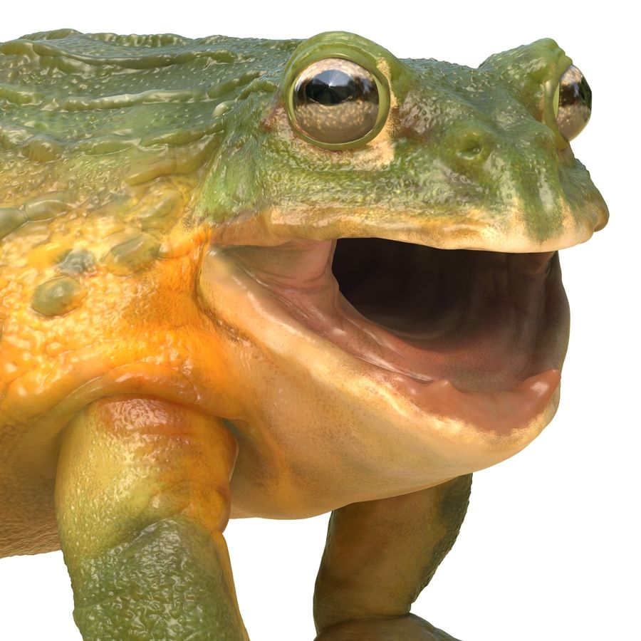 Bullfrog africain truqué royalty-free 3d model - Preview no. 29