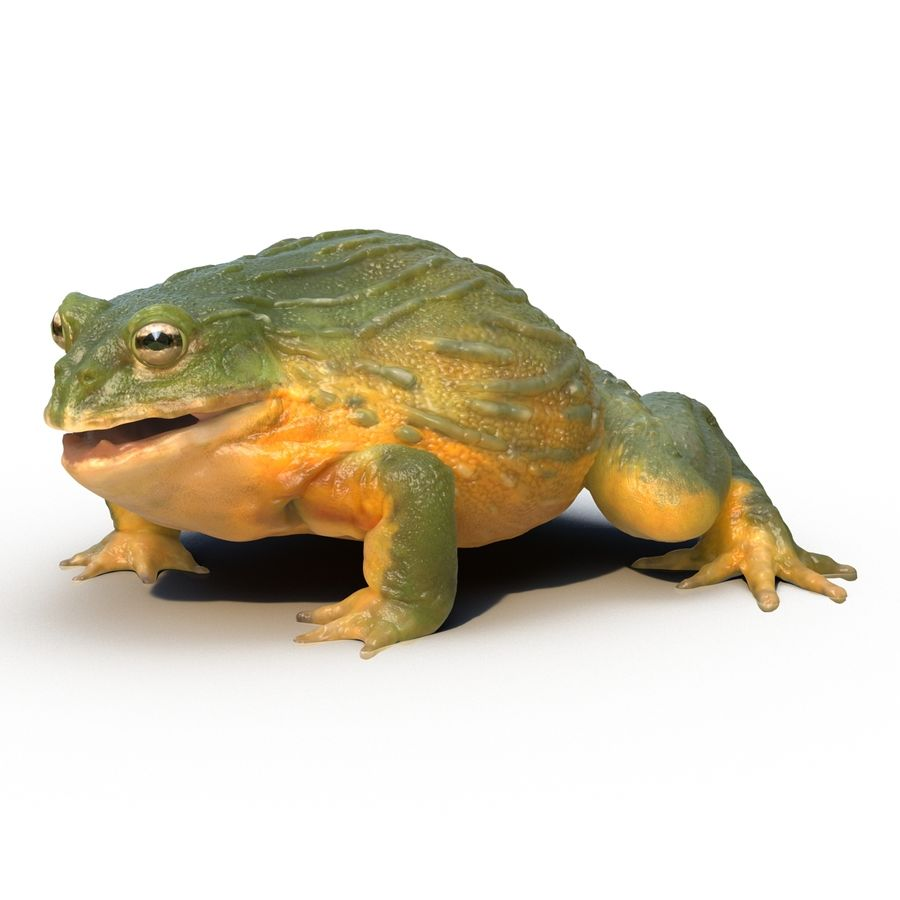Bullfrog africain truqué royalty-free 3d model - Preview no. 6