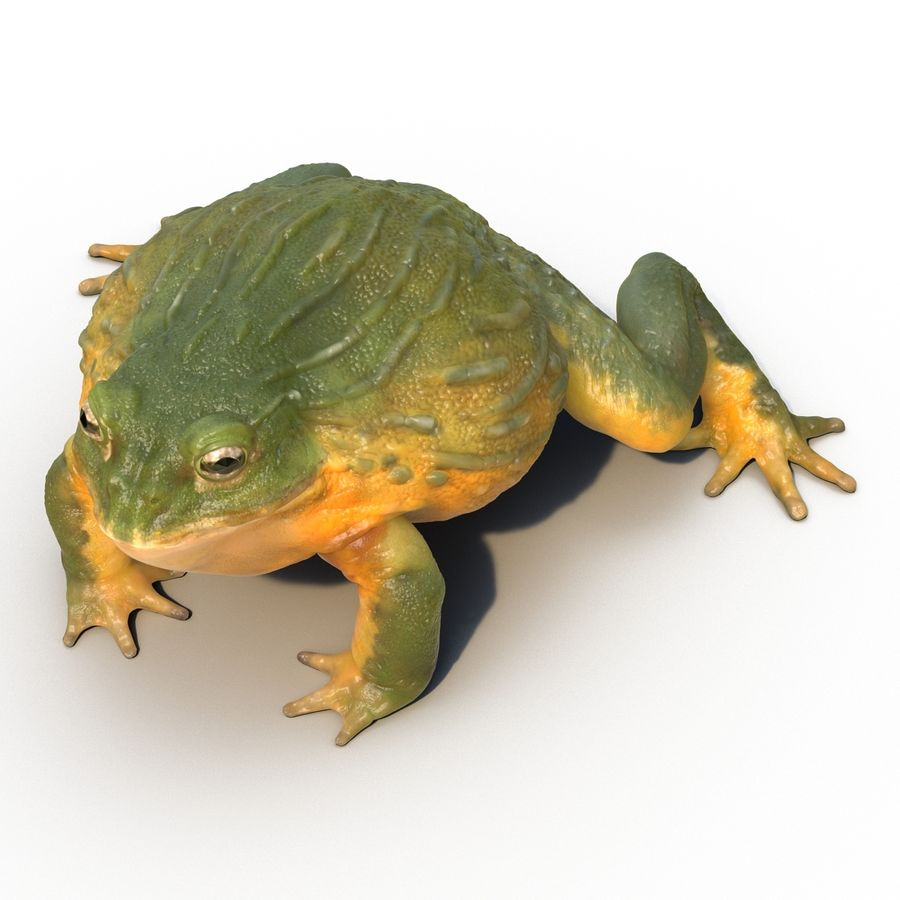 Bullfrog africain truqué royalty-free 3d model - Preview no. 15