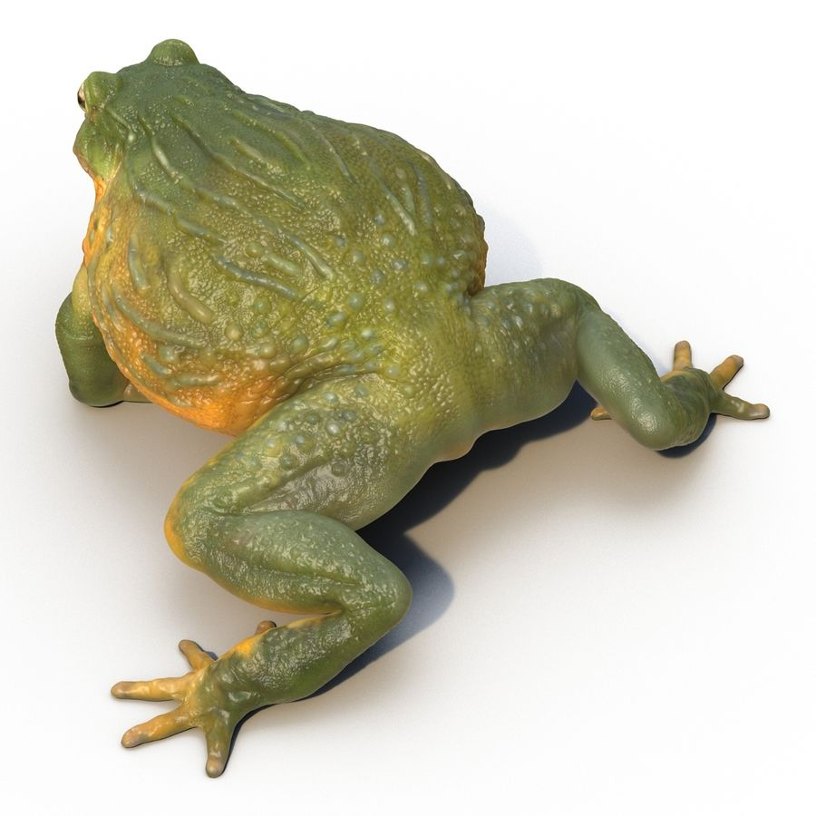 Bullfrog africain truqué royalty-free 3d model - Preview no. 17