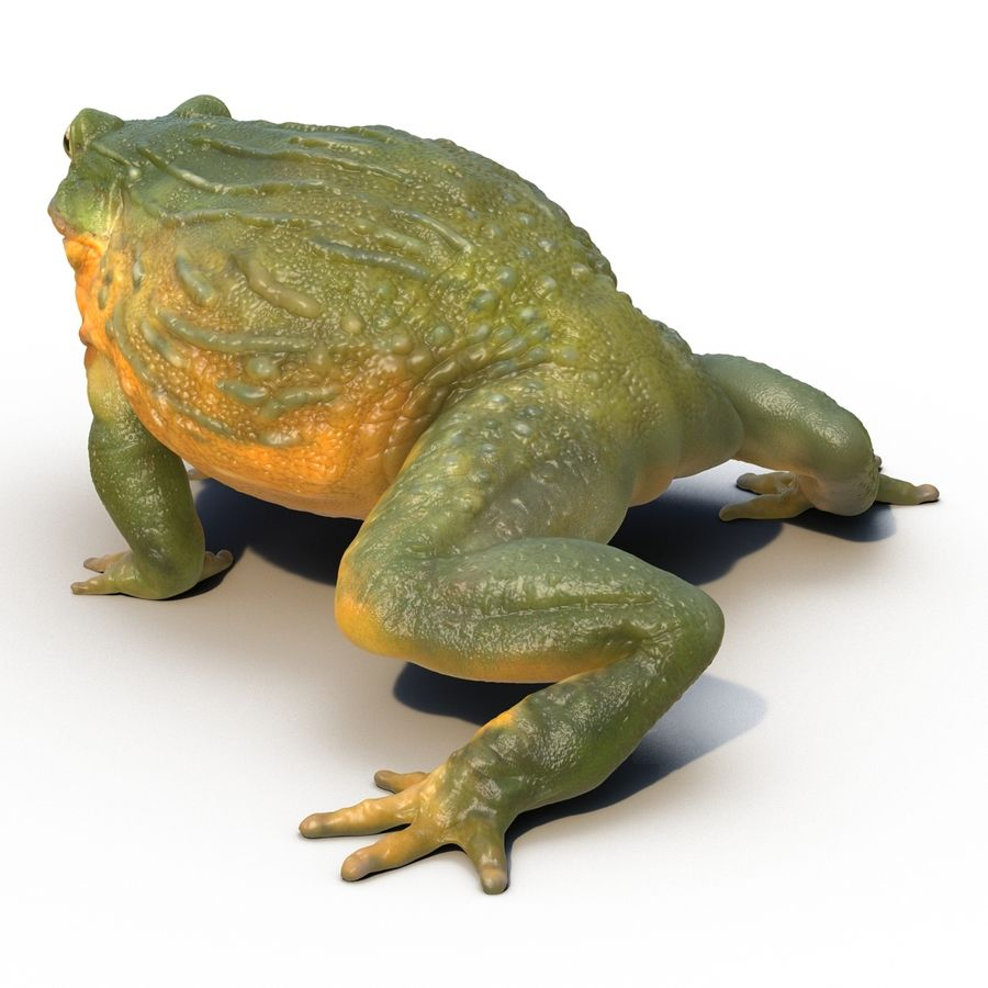 Bullfrog africain truqué royalty-free 3d model - Preview no. 8