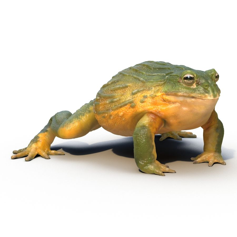 Bullfrog africain truqué royalty-free 3d model - Preview no. 3