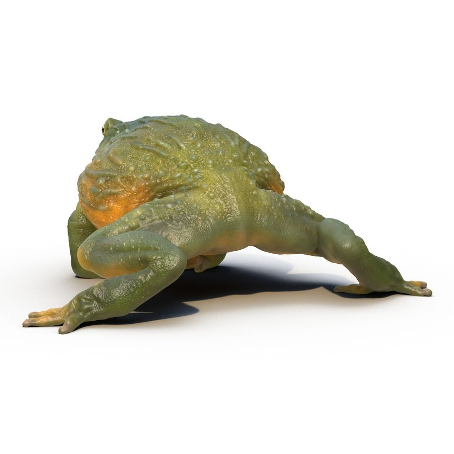 Bullfrog africain truqué royalty-free 3d model - Preview no. 13