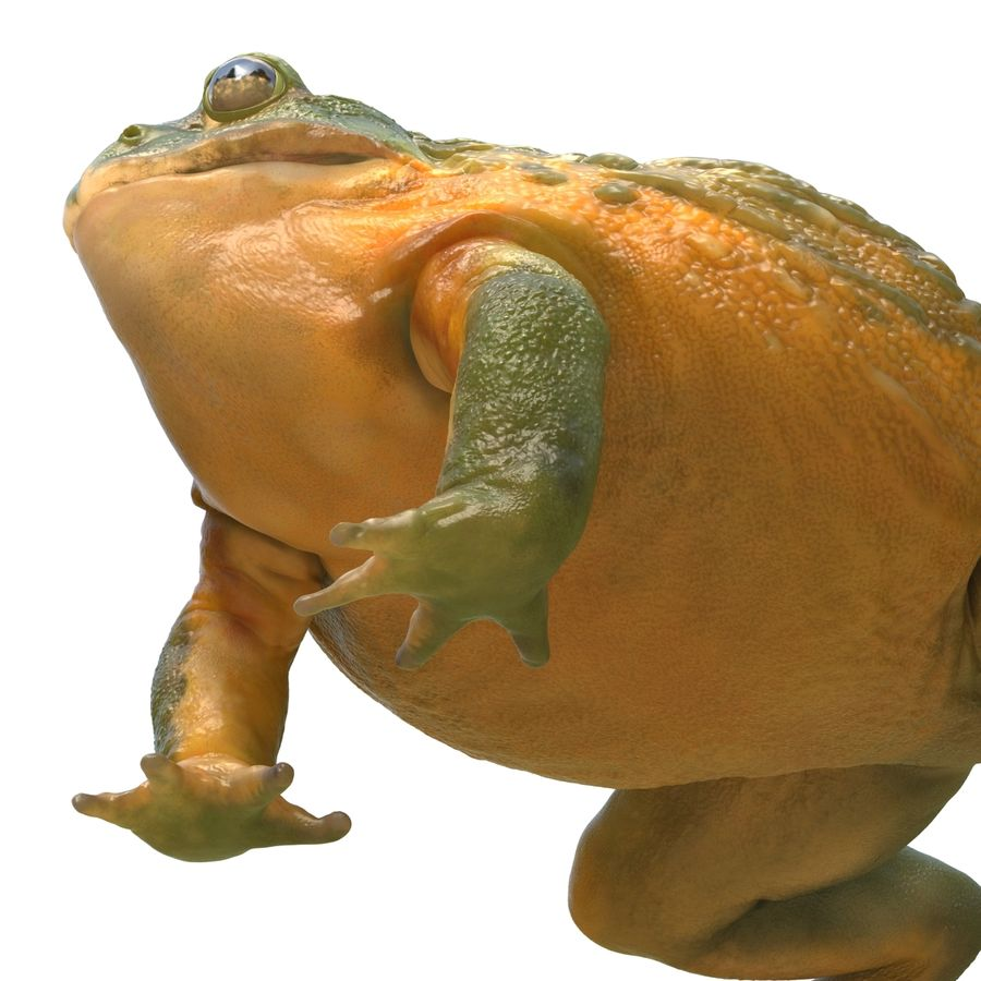 Bullfrog africain truqué royalty-free 3d model - Preview no. 25