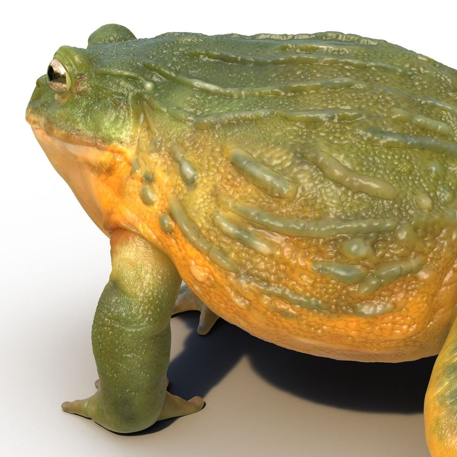 Bullfrog africain truqué royalty-free 3d model - Preview no. 24