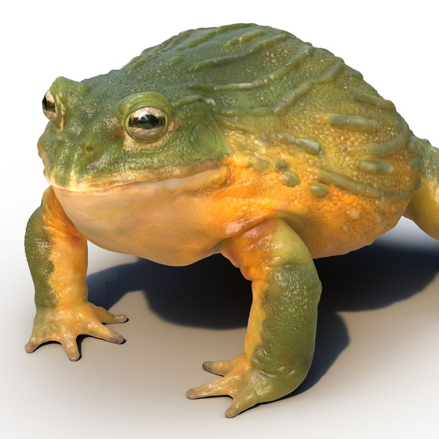 Bullfrog africain truqué royalty-free 3d model - Preview no. 22