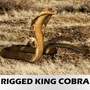 Realistic Rigged King Cobra 3d model
