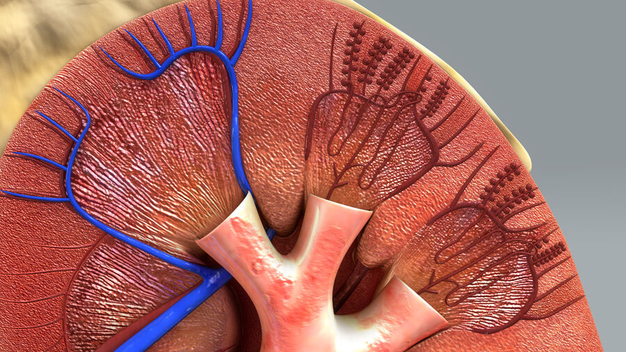 Kidney Anatomy royalty-free 3d model - Preview no. 4