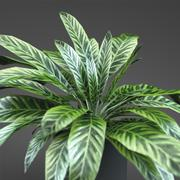 home plant Aglaonema 3d model