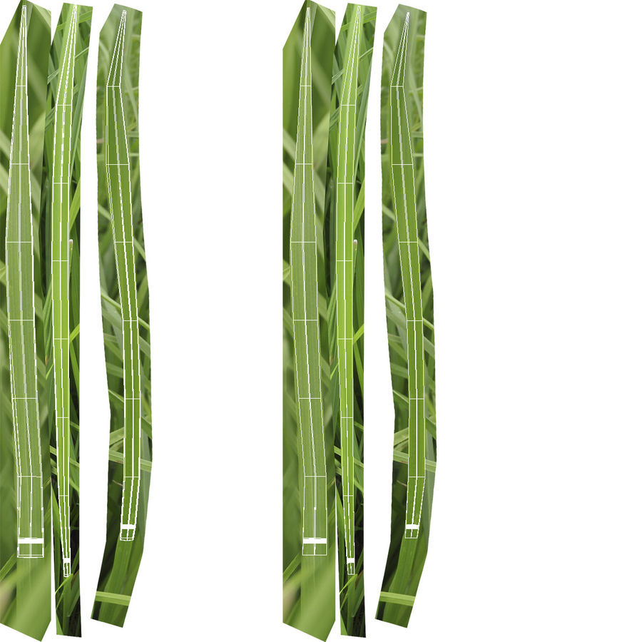 Ryegrass royalty-free 3d model - Preview no. 13