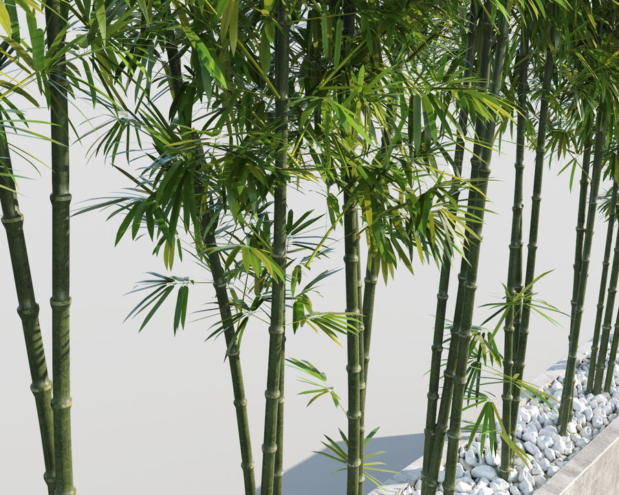 Bamboo Trees 2 royalty-free 3d model - Preview no. 7