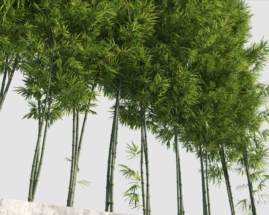 Bamboo Trees 2 royalty-free 3d model - Preview no. 9