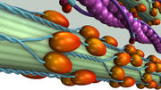 Uwalnianie troponiny wapniowej 3d model
