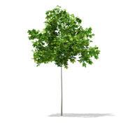 Sycamore Maple (Acer pseudoplatanus) 2m 3d model