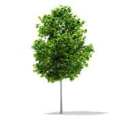 Sycamore Maple (Acer pseudoplatanus) 3.8m 3d model