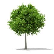 Sycamore Maple (Acer pseudoplatanus) 6.9m 3d model