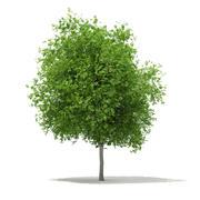 Sycamore Maple (Acer pseudoplatanus) 10.2m 3d model