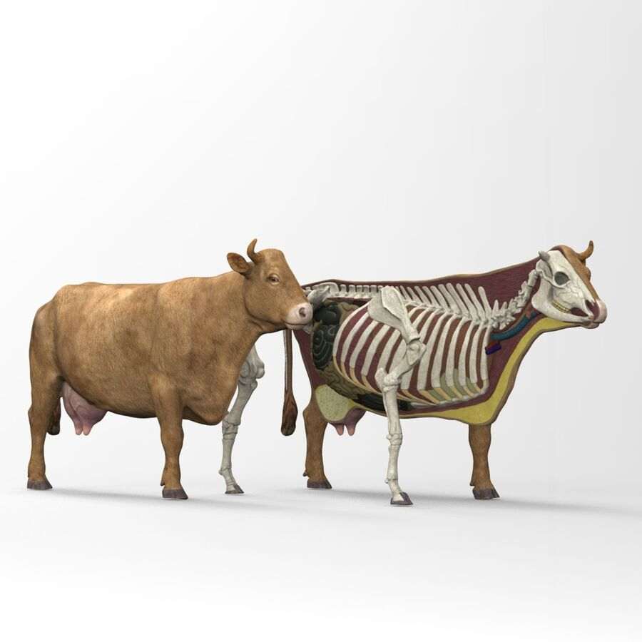 Anatomie de la vache royalty-free 3d model - Preview no. 20