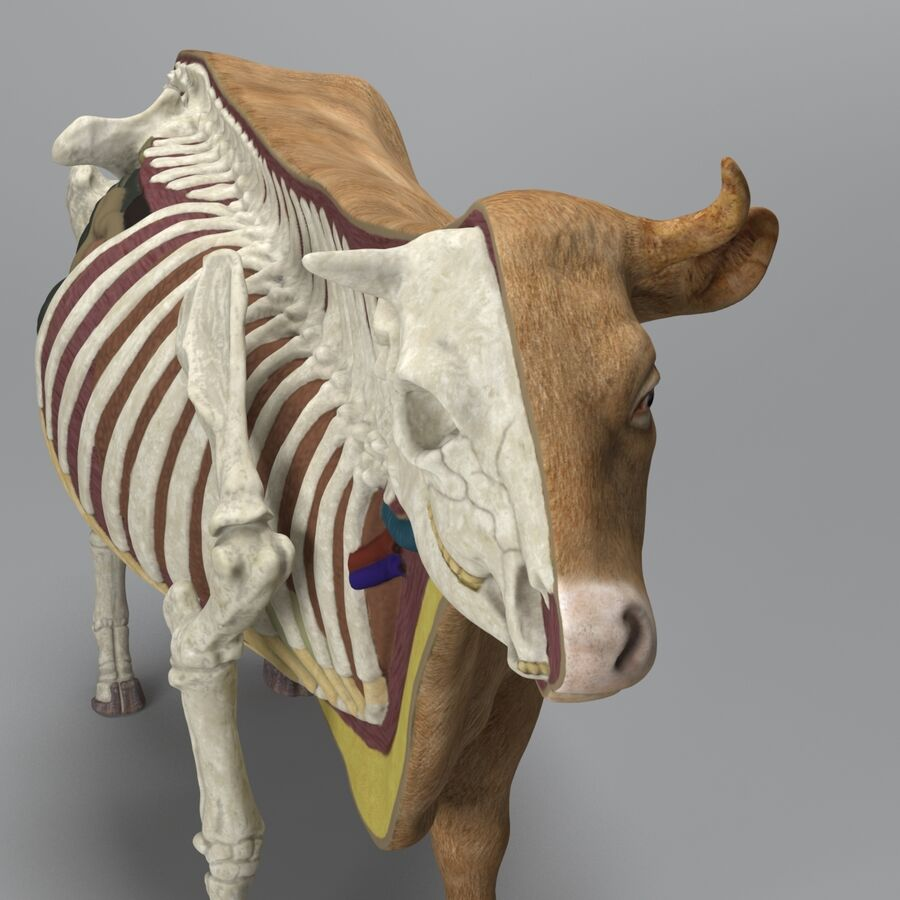 Anatomie de la vache royalty-free 3d model - Preview no. 9