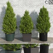 Pinus dans des pots 3d model
