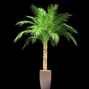 phoenix palm in pot 3d model