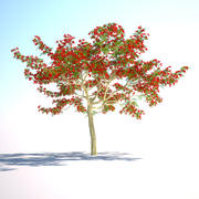 华丽的树(皇家poinciana Mohur树) 3d model