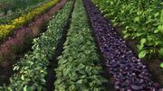 Vegetable Field 3d model