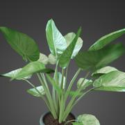 home plant Zantedeschia 3d model