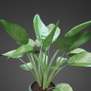 home plant Zantedeschia 3d model