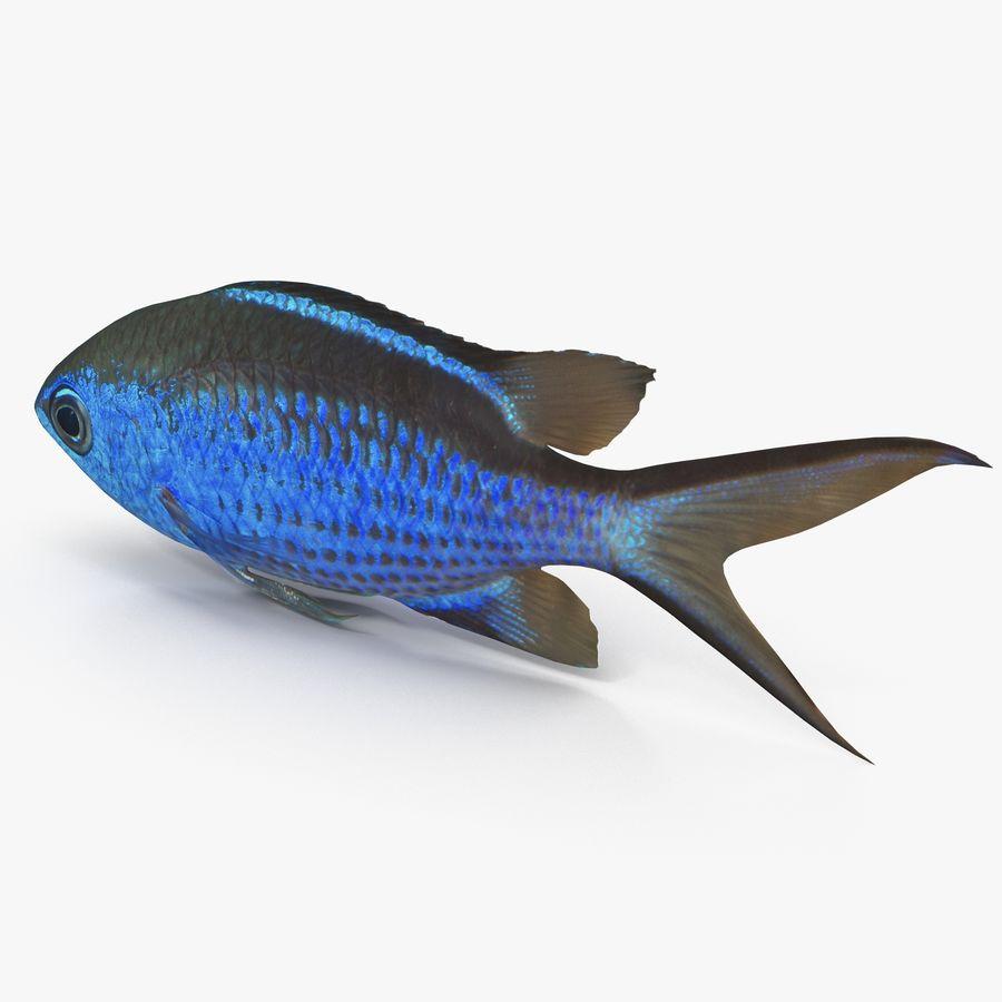 Blaue Chromis royalty-free 3d model - Preview no. 3