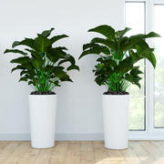 Philodendron Congo 3d model